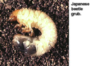 Cover photo for Do You Have Problems With White Grubs?