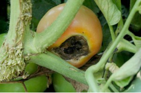 Cover photo for Why Are My Tomatoes Turning Brown?