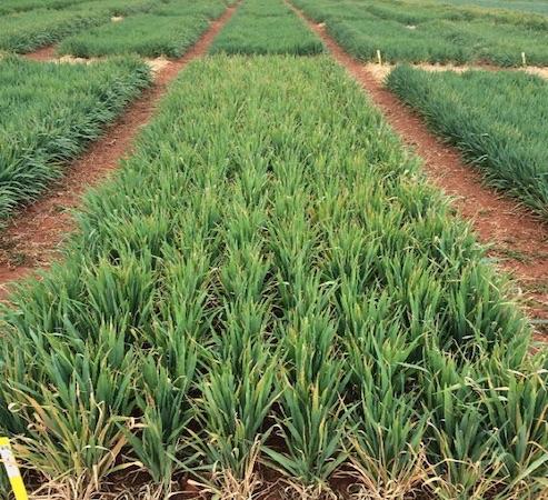 Wheat plots