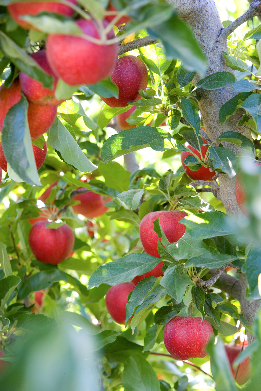 photo of an apple tree with red apples hanging from a branch.