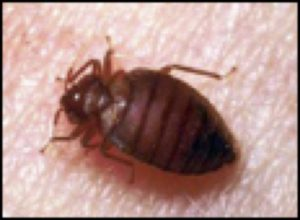 Cover photo for Bedbugs - How to Identify and Prevent Bedbugs