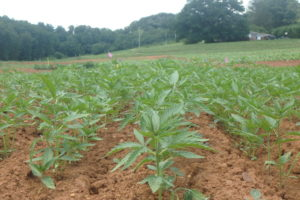Cover photo for Industrial Hemp in North Carolina