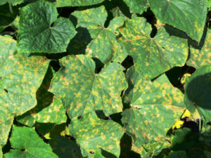 Cover photo for Cucumber Downy Mildew Confirmed in Wilson County