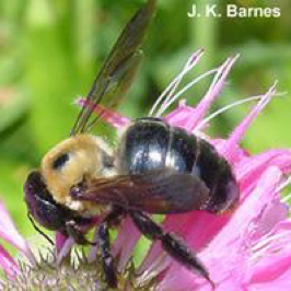 Cover photo for Native Bees in the Landscape