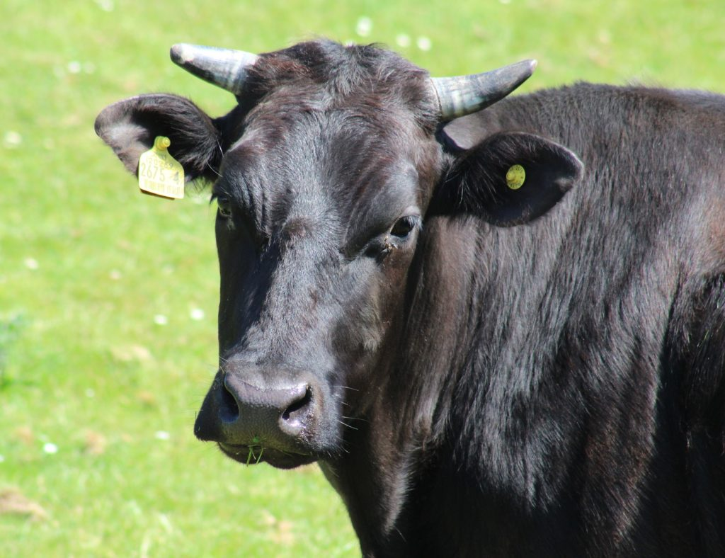 A picture of a black cow