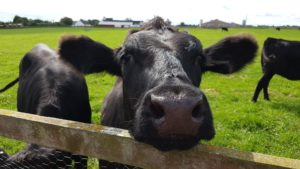 picture of black cows, one with his head on a fence looking at the camera, in a pasture with farm buildings in the background.