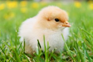 picture of a baby chick