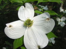 A picture of the white dogwood flower.