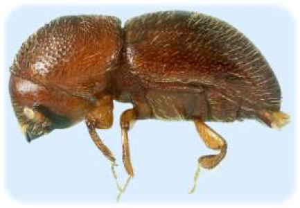 picture of Adult Granulate Ambrosia beetle