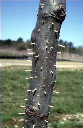 picture of Ambrosia Beetle damage to cherry tree.