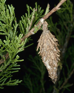 Picture of Bagworms on Leyland Cypress