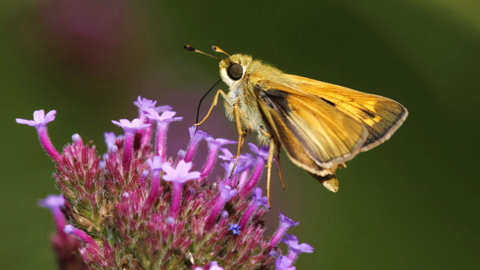 Picture of Butterfly-on-Garden-Phlox