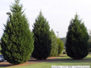 A picture of Leland Cypress trees.