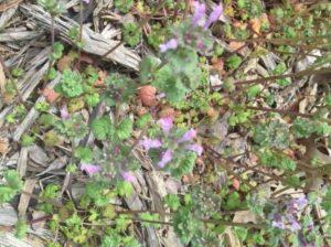 A picture of purple flowering henbit plants.