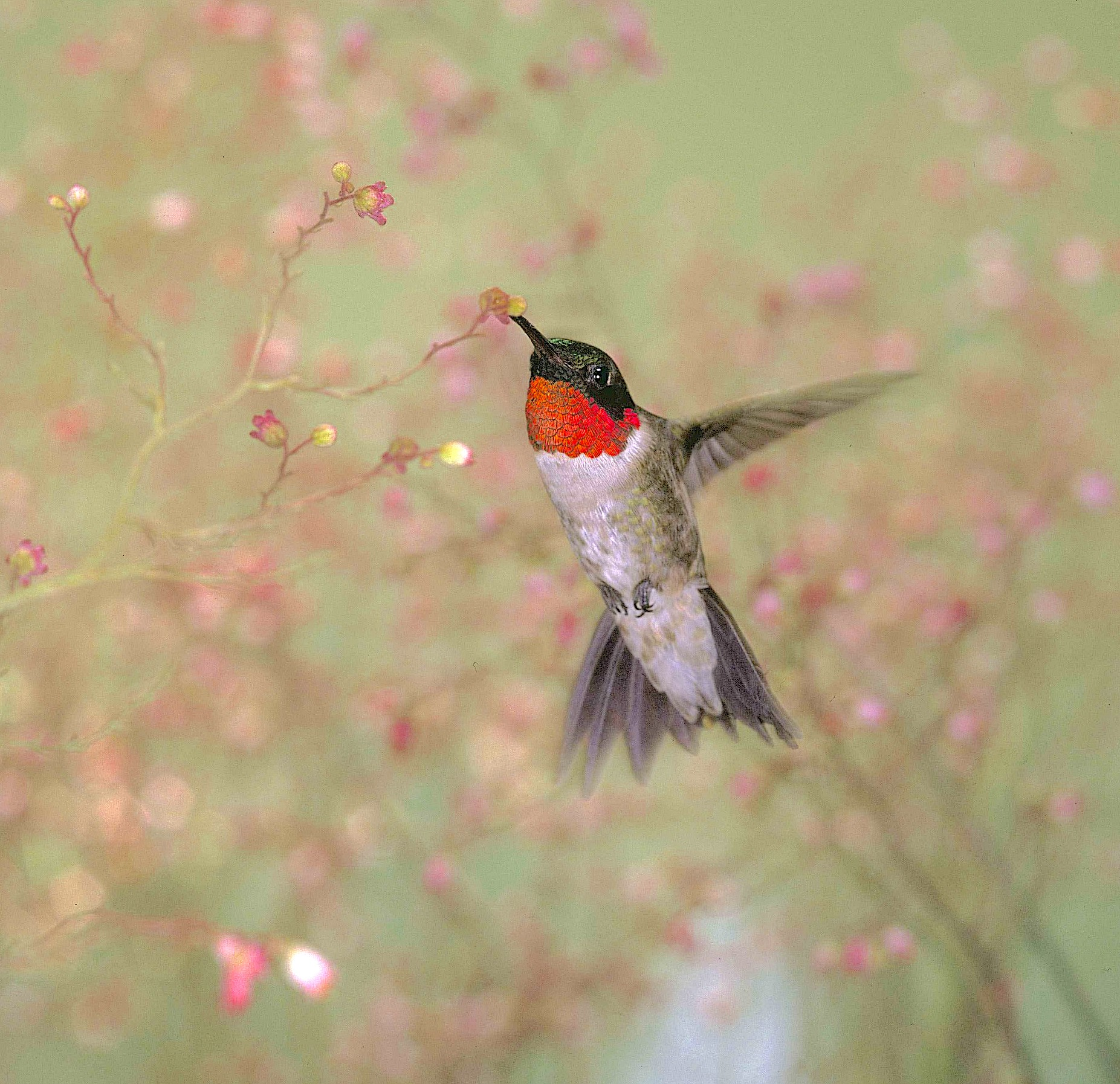 A picture of a Ruby-throated hummingbird feeding on pink flowers.