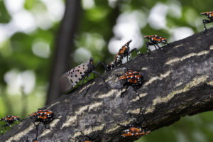 Image of an adult spotted lanternfly with red-and-white nymphs. Photo by Steve Ausmus, USDA/ARS.