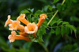 Image of American Trumpet vine