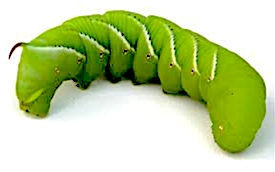 An image of a tomato hornworm