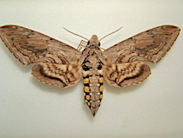 Image of adult hornworm, known as Spinx moth.