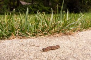 image of a fall armyworm
