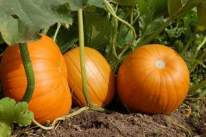 image of several pumpkins growing in the field