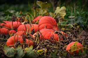 Image of a field of ripe pumpkins