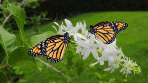 Two Monarch butterflies Latin name Danaus plexippus on a white flower.