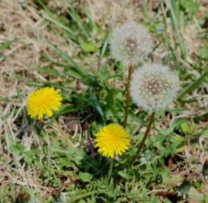 image of a dandelion weed