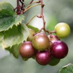 Image of muscadine grapes on a vine.