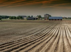 Image of a field planted with a row crop.