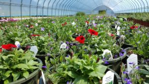 Image of a greenhouse filled withblooming potted plants