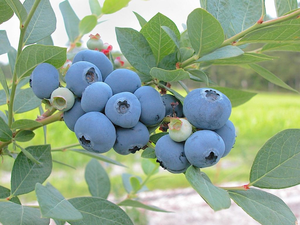 photo image of blueberries hanging on a blueberry bush branch.