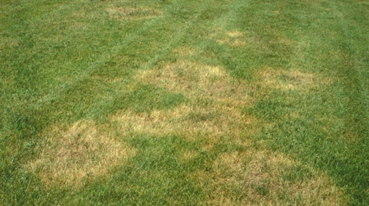 Image of Brown Patch in Tall Fescue