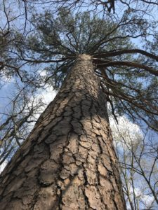 Loblolly Pine