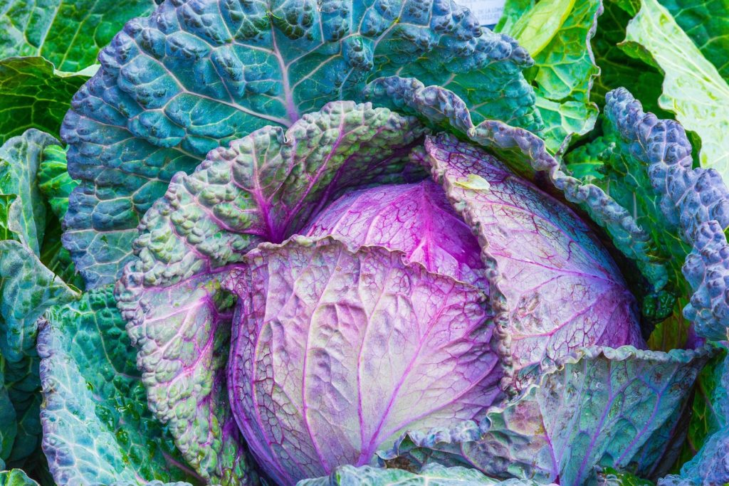 image of purple cabbage