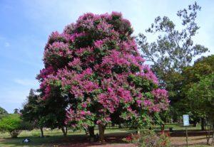 giant crape myrtle tree