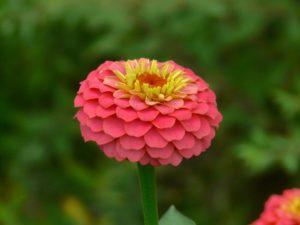 Pink Zinnia