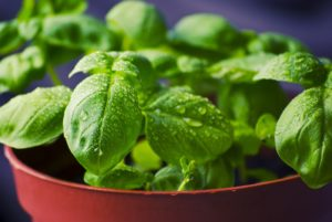Basil planted in container