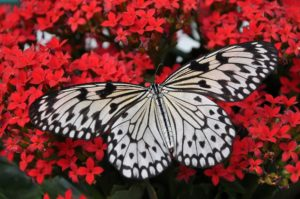 black and white butterfly on red flowers
