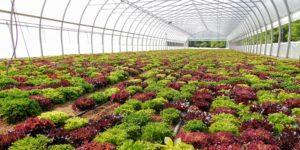 lettuce in high tunnel