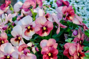 pansies iImage-by-t_watanabe-from-Pixabay
