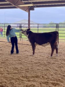 4-H'er showing her cow