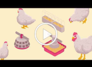 video thumbnail How NC chickens get to market