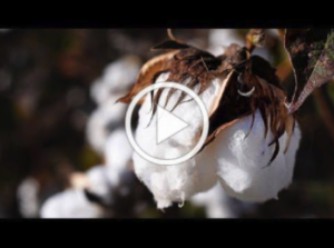 video thumbnail of boll of cotton