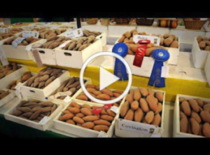 video thumbnail of boxes of sweet potatoes with some blue and red ribbons