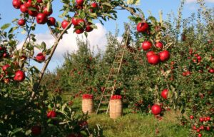 apple orchard with barrels of apples and a ladder