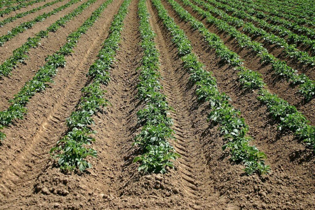Potato field by Catkin from Pixabay