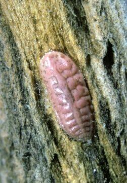 felt scale on a tree trunk photo.
