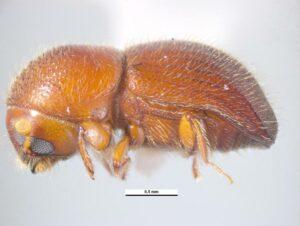 Ambrosia beetle photo.
