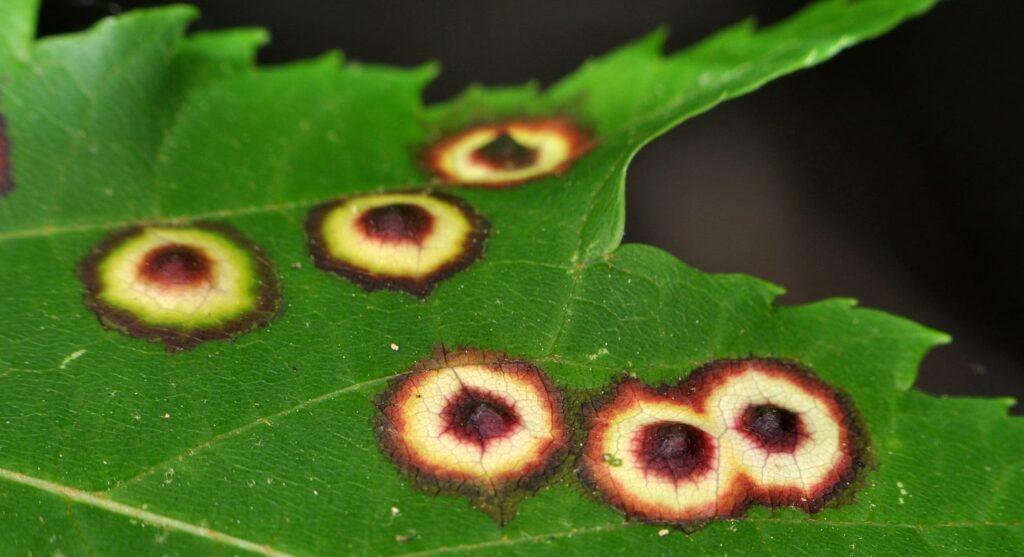 Maple Eyespot Gall on a maple leaf photo.